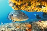 Grouper by Coral with Scuba Diver Fotografie-Druck