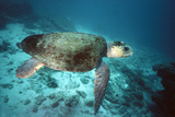 Loggerhead Turtle Female Lámina fotográfica