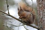 Red Squirrel Fotografie-Druck