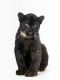 Black Panther Cub, 16 Weeks Old Premium fototryk