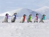 Emperor Penguins, 4 Young Ones Walking in a Line Fotografisk tryk