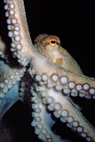 Common Octopus Fotoprint