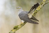 Common Cuckoo Adult Male Display Reproduction photographique