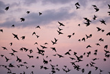 Starlings Mass of Birds in Flight Reproduction photographique