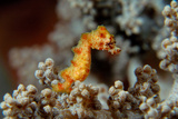 Pygmy Seahorse This Is a New Kind of Pigmy Seahorse Fotografie-Druck