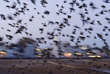Starlings in a Fly By Reproduction photographique