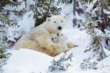 Polar Bear Huddled in Snow, with Two Cubs Lámina fotográfica