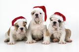 Bulldog Puppies Wearing Christmas Hats Fotografisk tryk
