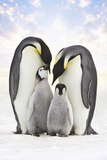 Emperor Penguin, Two Adults with Two Chicks Fotografisk tryk
