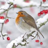 European Robin in Winter on Snowy Branch Valokuvavedos