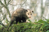 American Opossum on Tree Branch Lámina fotográfica
