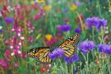 Milkweed Butterflies Resting Photographic Print