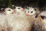 Virginia Opossum Young on Mother's Back Fotografie-Druck