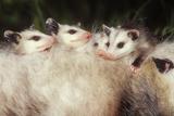 Virginia Opossum Young on Mother's Back Lámina fotográfica