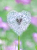 Dandelion Seed Head, UK Garden Fotografisk tryk