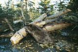 North American Beaver Gnawing on Branch to Make a Dam Fotografisk tryk