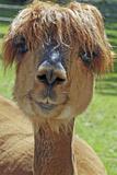 Alpaca Fotografisk tryk