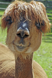 Alpaca Impressão fotográfica premium