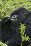 Mountain Gorilla Large Silverback Feeding on Vegetation Fotografisk tryk
