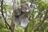 Koala Mother with Piggybacking Young Climbs Up Lámina fotográfica