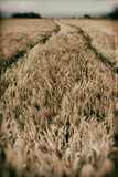 Fields of Wheat Photographic Print by Tim Kahane