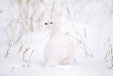 Rock Ptarmigan in Snow Reproduction photographique
