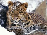 Amur Leopard Endangered Species Fotografisk tryk