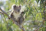 Koala Adult Sitting High Up in the Trees Fotografie-Druck