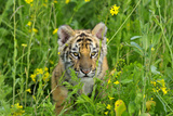 Bengal Indian Tiger Cub, Endangered Species Photographic Print