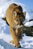 Puma in Winter Fotografisk tryk