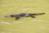 Platypus Adult Swimming in a River Collecting Food Lámina fotográfica