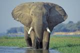 Large African Elephant Bull Feeding Along The Fotografisk tryk