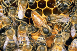 Queen Honey Bee with Attendant Workers Fotografie-Druck