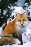 Red Fox in Snow Lámina fotográfica