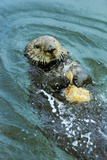 Sea Otter Using Tool to Crack Clam on Rock Lámina fotográfica