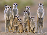 Meerkat Family with Young on the Lookout Fotografisk tryk
