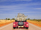 Meerkats in Car Waving Lámina fotográfica