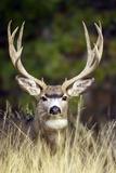 Mule Deer Buck Fotografisk tryk