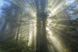 God Beams and The Redwoods, California Coast Fotografisk trykk av Vincent James