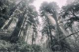 Within the California Redwood Forest Fotografisk trykk av Vincent James