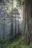 Precious Redwood Forest, California Coast Fotografie-Druck von Vincent James