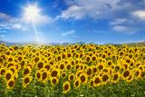 Sunflowers under Blue Sky and Shining Sun Reproduction photographique par Buena Vista Images