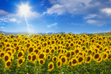 Sunflowers under Blue Sky and Shining Sun Fotografie-Druck von Buena Vista Images