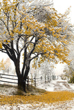 Apricot Tree in Autumn during Snowstorm Photographic Print by John P Kelly