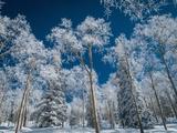Frost and Snow Covered Trees, Colorado Lámina fotográfica por Karen Desjardin