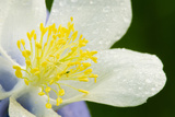 Columbine close up with Dew Drops Photographic Print by Russell Burden