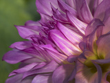 Dahlia close Up Photographic Print by Russell Burden