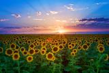 Sonnenblume Fotografie-Druck von Hansrico Photography