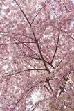 Usa, Washington Dc, Cherry Blossom Fotografie-Druck von Tetra Images