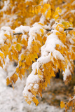 Usa, Colorado, Twigs with Yellow Leaves Covered by Snow Photographic Print by John Kelly